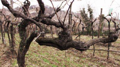 Yeasteria_Tenuta L'Armonia_viti vecchie